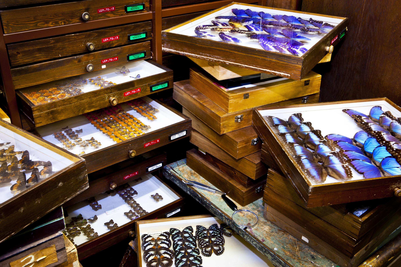 Schmetterlinge und andere Präparate werden in alten Setzkästen vom CeNak gezeigt